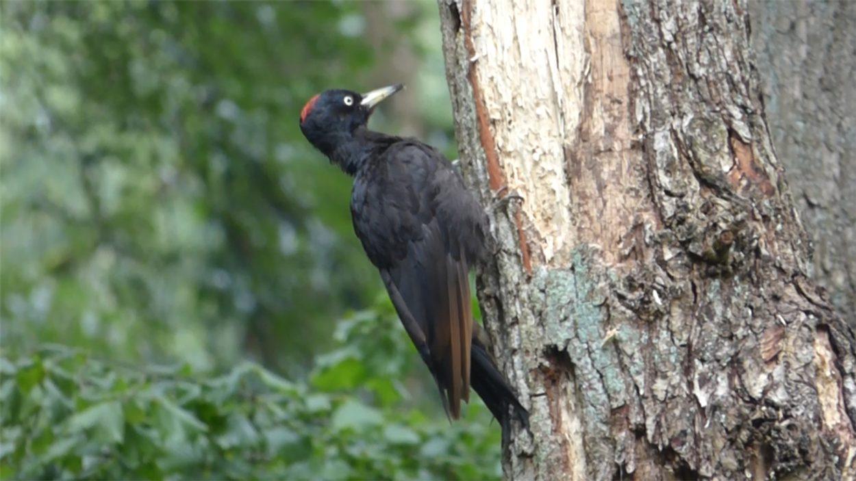20201108-vroegevogels-zwarte-specht-en-overige