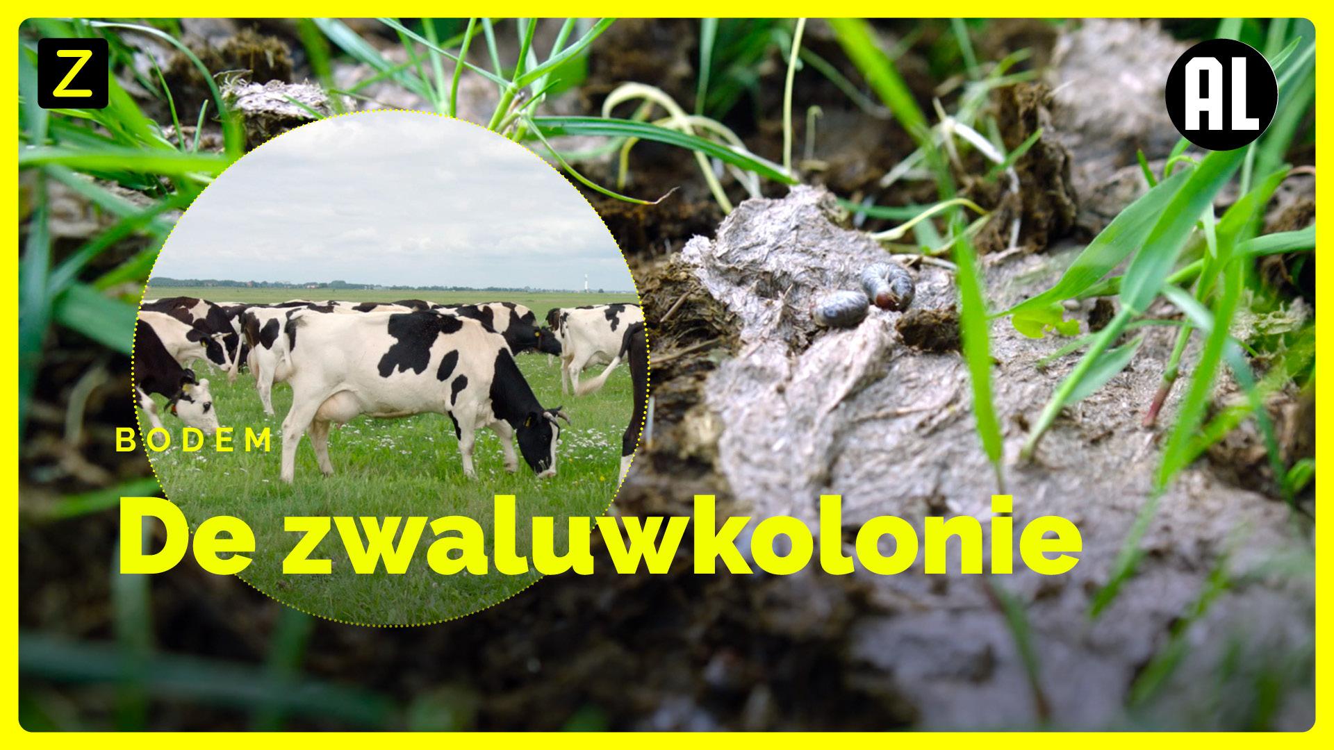 Afbeelding van De zeldzame huiszwaluw laat zich weer zien op bioboerderij