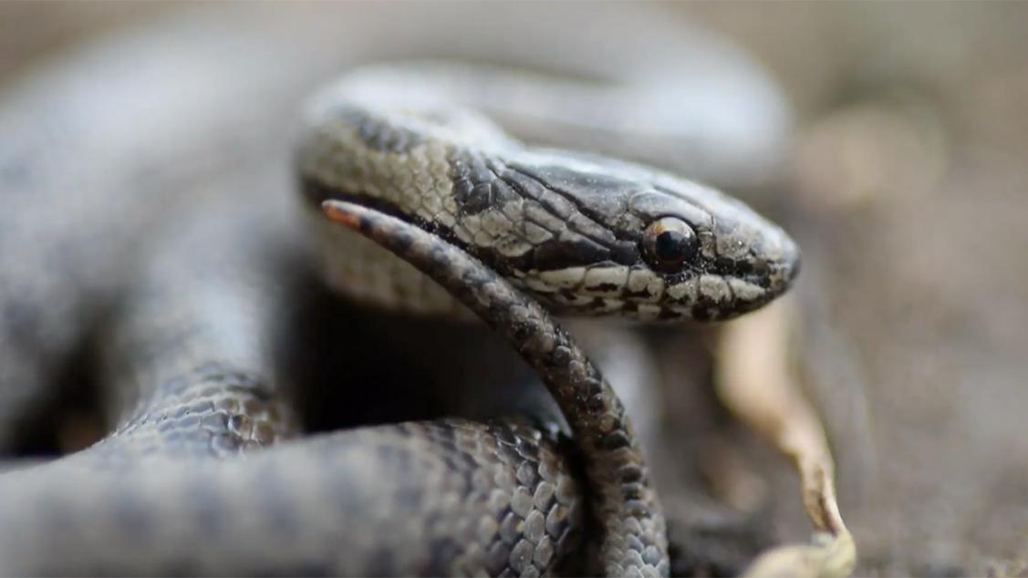 Afbeelding van Genetisch onderzoek naar de gladde slang